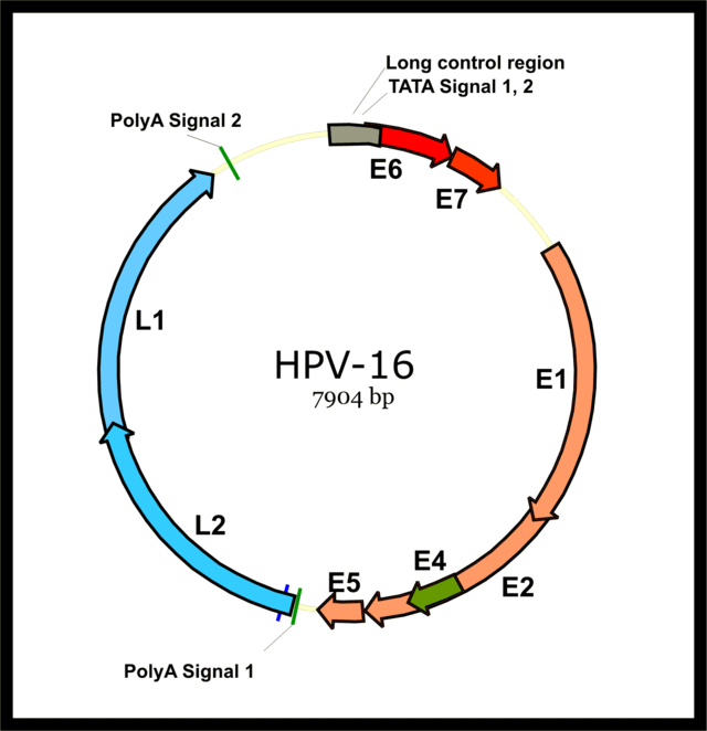 human papilloma virus spread through