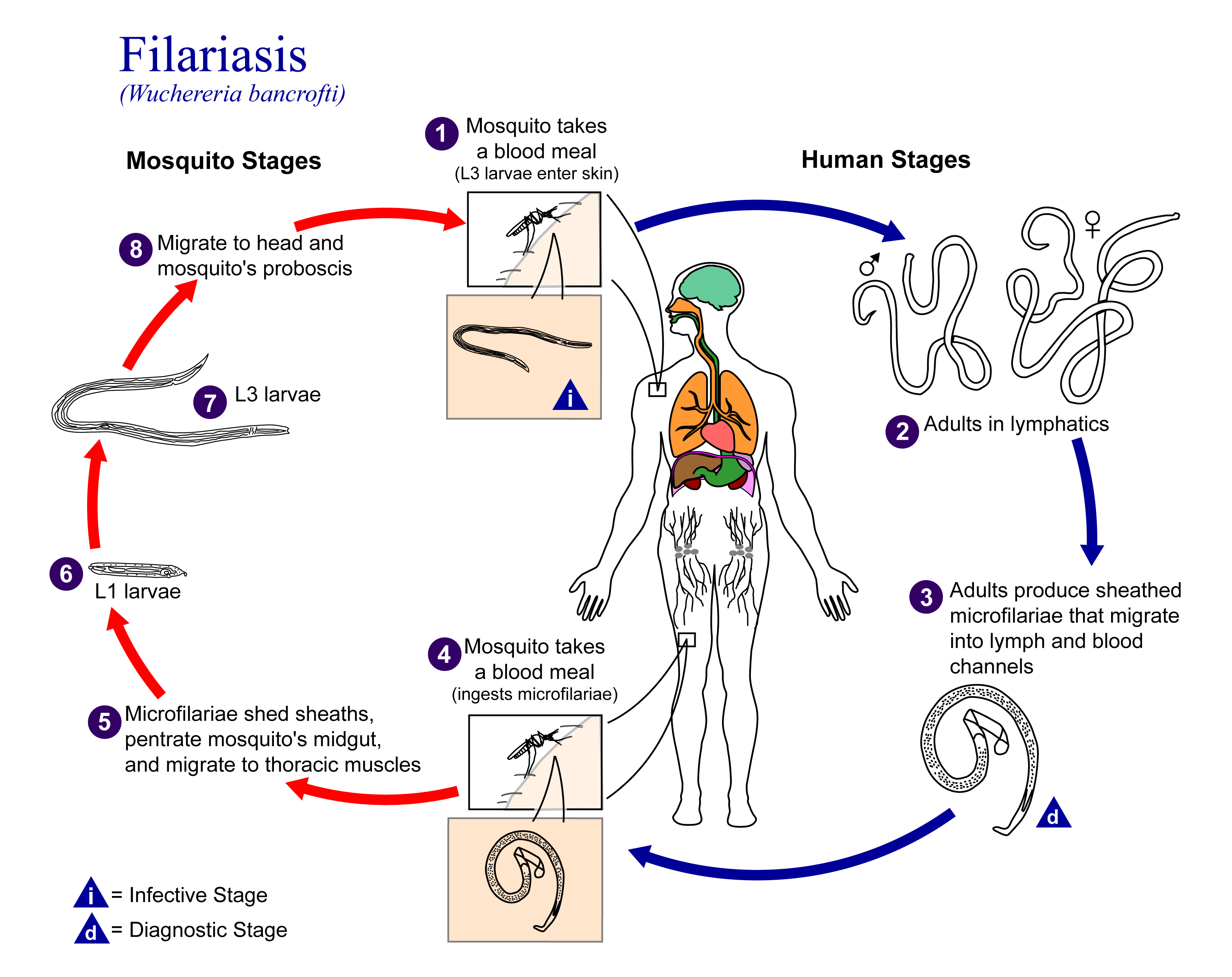 filarial helminth infection